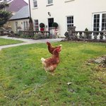 chickens in the grounds