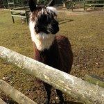 one of the alpacas