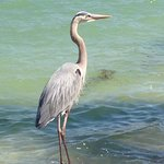 A Heron next to the swimming pool