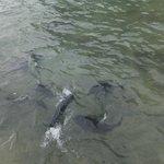 Jackfish feeding!