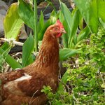 One of our chickens