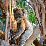 A very sleepy koala.