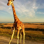 Giraffe on The African Experience