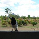 Cheeky Butcher bird