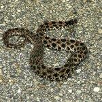 dusky pygmy rattlesnake on the pavement part of  the trail