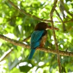 Kingfisher in a tree outside our room