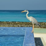 Heron standing Stag at infinity pool