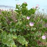 piante di capperi in fiori a giugno