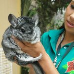Celina's favorite mammal, a chinchilla