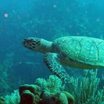 Turtle while diving