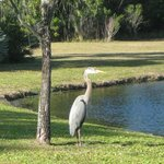 A heron and an alligator in the secluded pond area behind the pools.