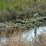 Gator and a very Trusty Egret!