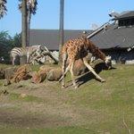 SF Zoo - African Savannah
