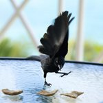 Grackles are plentiful and are always on the lookout for scraps