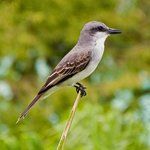 This Mocking Bird posed for a photo in front of our balcony