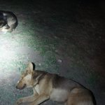 Anakena Beach dogs hanging out with us in the dark while we wait for sunrise