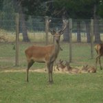Resident red deer in the grounds