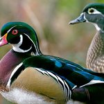 Wood Ducks (male at left)