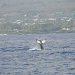 Whale off Kona coast