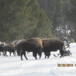 Bison crossing