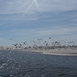 White pelicans and shorebirds