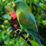 Orange-chinned parakeet seen during breakfast