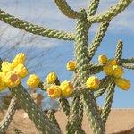 Flowering cactus at the Sidewinder