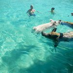 swimming with the pigs, amazing!