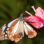 Mountain Tiger Butterfly