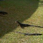 mointor lizard