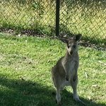 Kangaroo at the door of our room