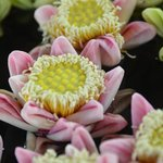 Lots of lotus flower as decoration... beautiful