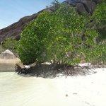 Мангровое дерево в крошечной бухточке на пляже