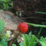 Flora & Fauna - Wild Strawberries growing in the Hotel Premises