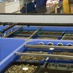Viviers d'affinage des coquillages