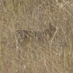 Jungle cat, after almost catching a chital fawn