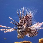 A Lion fish on a coral head