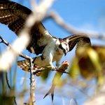 An osprey on a tree near the nest.  Poor headless fish!