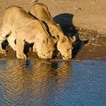 Lion cubs in Madikwe Game Reserve