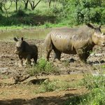 Mum rhino and baby