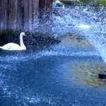 Fountain with swan in the pond