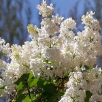 Brilliant white lilacs greet guests as they enter the courtyard in the Spring