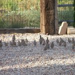 Families of Gambril Quail scattered around the gardens