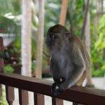 Шинли - любопытная обезьянка, живущая на острове