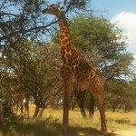 8 metres from giraffe