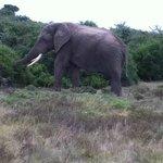 Norman the elephant