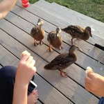 ducks would visit our deck every day! Kids loved it!