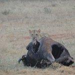 leone con carcassa di bufalo
