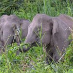 Pigmy Elephants up river from Abai- late afternoon
