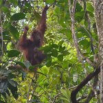 Wils Orang near Abai Lodge